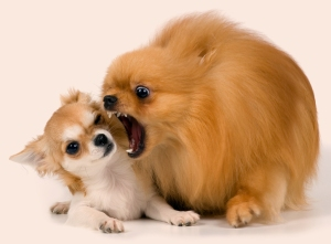 The puppy chihuahua and spitz-dog in studio on a neutral backgro