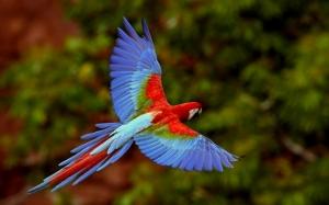 Arara Vermelha em voo no Mato Grosso do Sul, Brasil (Red Macaw i