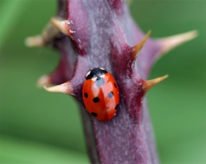 ladybird on bramble thorny branch