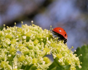Ladybird exploring the head of a moist weed