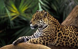 Onca Pintada na Floresta Amazonica, Brasil (Jaguar in Amazon Rai