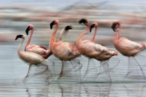 Lesser Flamingos in motion, Lake Nakuru National Park, Kenya