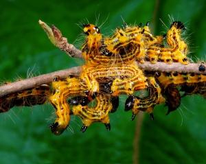 Yellow-necked caterpillars (Datana drexelii) amassed on a cherry tree.