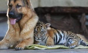 Kinwah the tiger cub becomes family pet, Mogo, New South Wales, Australia - 16 Sep 2009