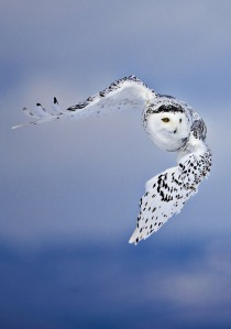 Snowy Owl (Bubo scandiacus) St. Lawrence River Delta, Canada