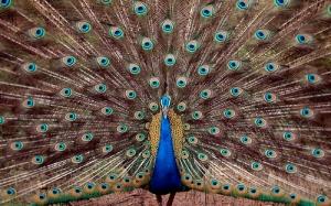 India - Birds - Peacock