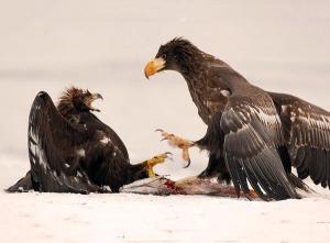 Белоплечий орлан отгоняет беркута