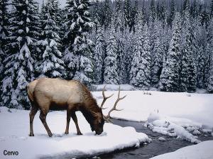Elk Looking for Food in Snow