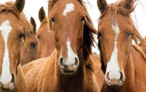 """Wild horses from reserve """"Rostovsky"""", Russia"""
