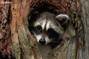 A Baby Raccoon in a Tree Cavity