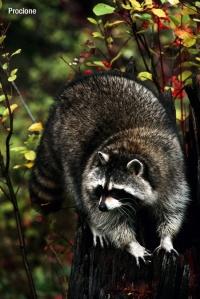 Raccoon Climbing a Stump