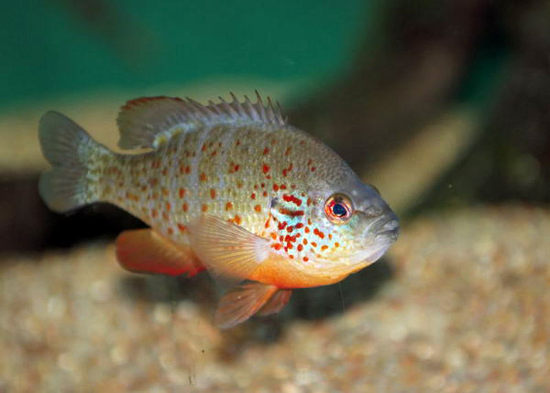 Pesce persico animalinelmondo for Pesce pulitore acqua dolce
