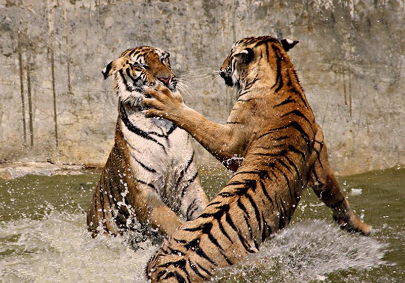 Felini tigri leoni e leonesse animalinelmondo for Mail il tuo account e stato hackerato