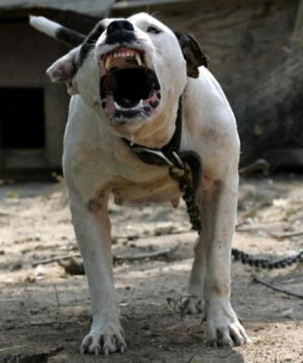 01Uno dei cani più potenti - un pit bull