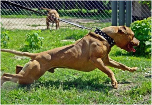 05Pit Bull Terrier