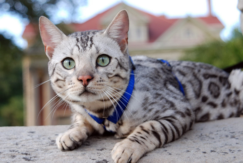Bengal Cats Grey And White