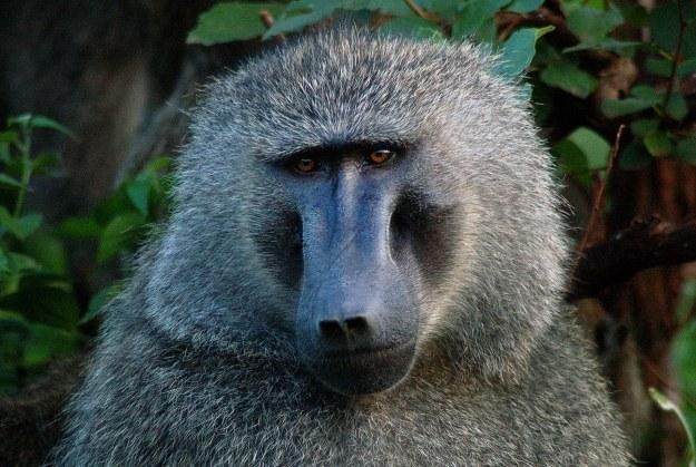 baboon11
