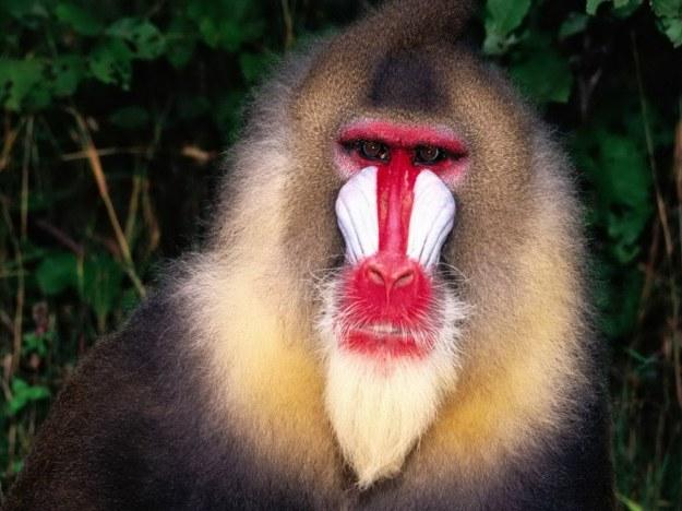 baboon22