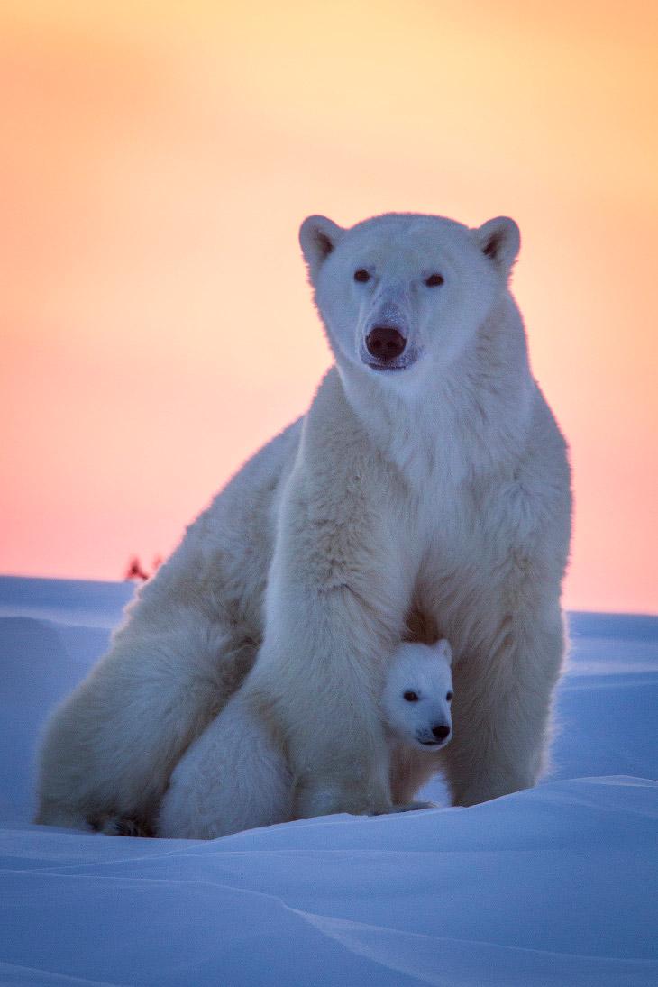 Orsi polari animalinelmondo for Affittare una cabina nel grande orso