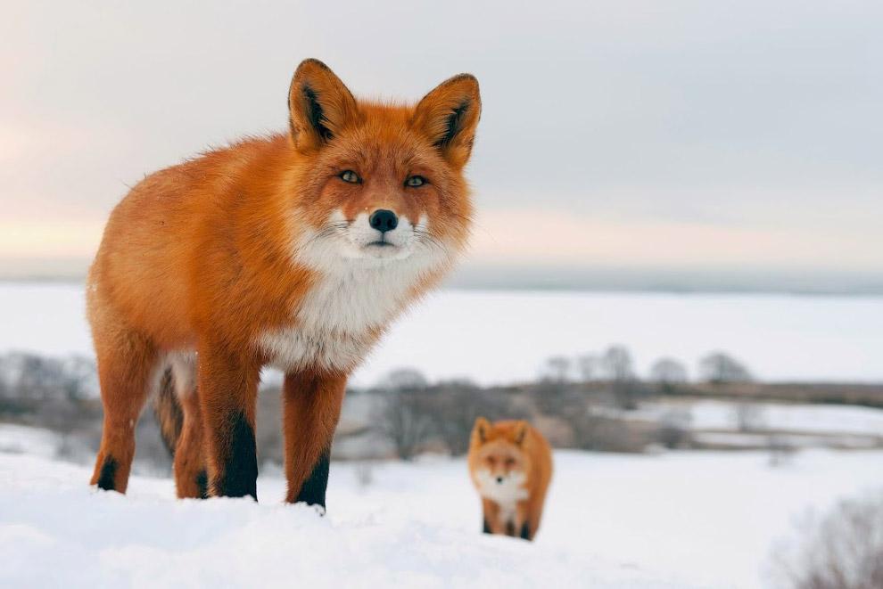Qualche dato sulle volpi animalinelmondo - Immagini di volpe spugna a colori ...