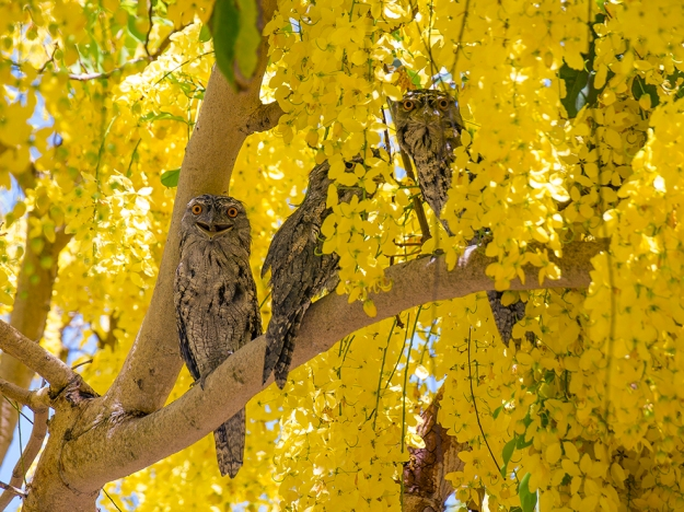 Woodgate Frogmouths