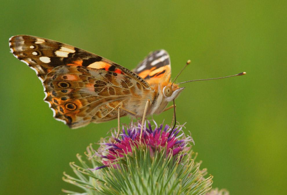 Insolite foto di animali animalinelmondo for Pesce rosso butterfly